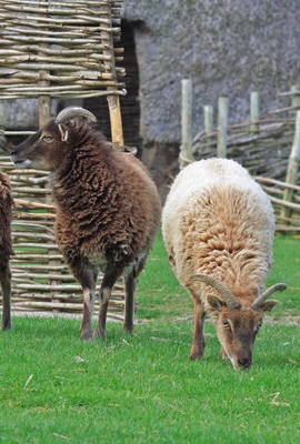 Two Soay sheep standing before a wattle fence.